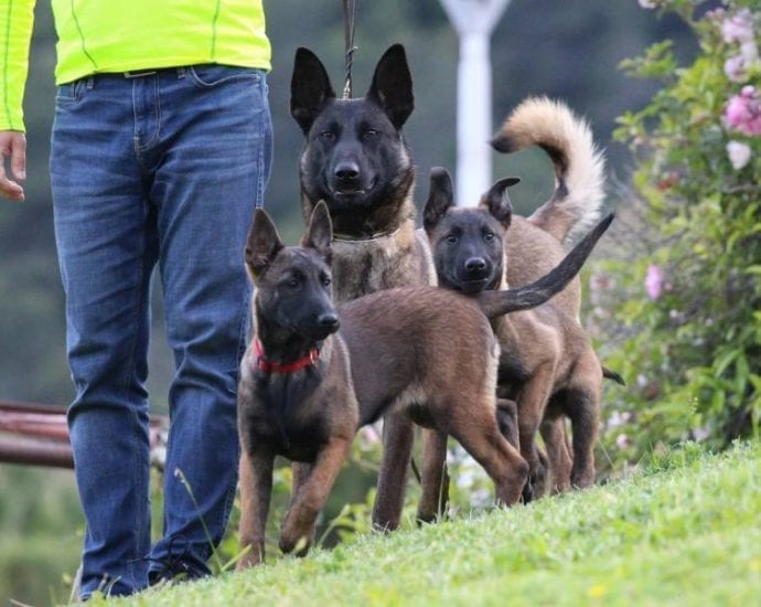 Belgian Shepherd Malinois Puppies KNPV lines petworldglobal.com