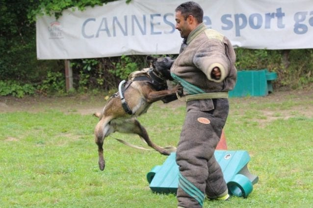 MALINOIS BITE Still Want A Malinois The Malinois Rescues are Overwhelmed