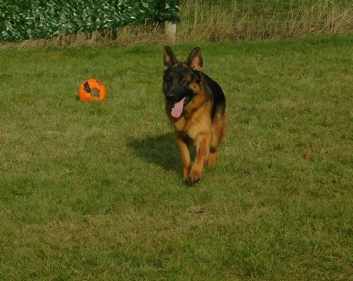Very Nice German Shepherd Male Super Son of VA Mars von Aurelius in Germany petworldglobal.com