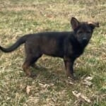 Czech DDR German Shepherd Puppy for Sale Father Triumpf Stasi petworldglobal.com