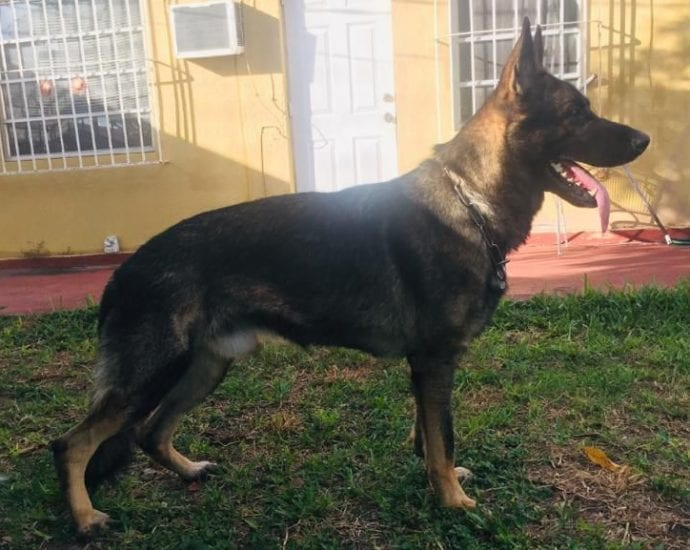 100% DDR IMPORTED GERMAN SHEPHERD MALE FOR SALE FLORIDA petworldglobal.com