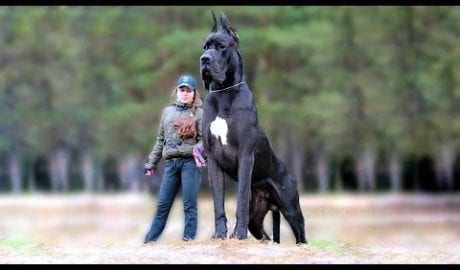 11 Biggest Dogs in the World petworldglobal.com