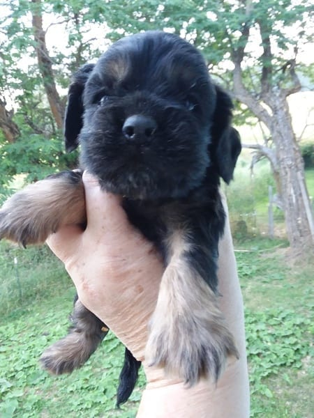 American Cocker Spaniel Puppies for Sale in WA petworldglobal.com