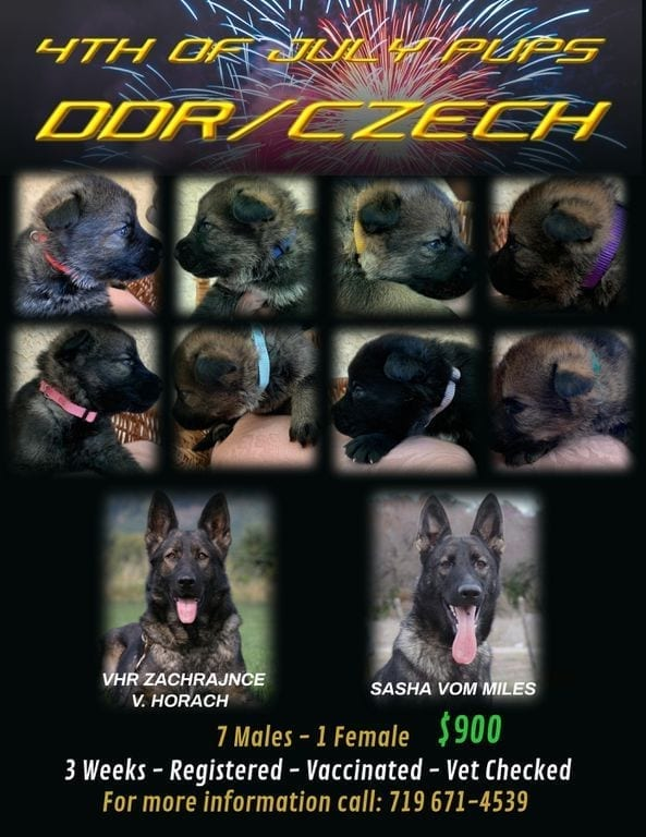DDR Czech AKC German Shepherd Puppies for Sale in US petworldglobal.com