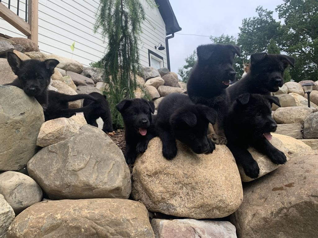 TOP Working Line Black German Shepherd Puppies petworldglobal.com