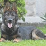 Young German Shepherd Male for Sale in Czech Republic petworldglobal.com