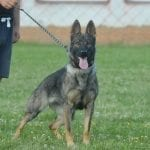 Young trained German Shepherd female for Sale in Czech Republic petworldglobal.com