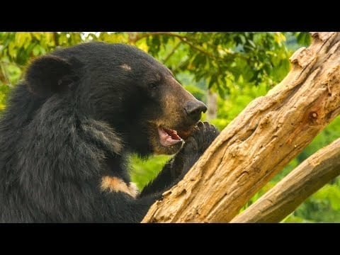 Feeding 39 Hungry Moon Bears Takes A Military-Style Mission!   BBC Earth petworldglobal.com