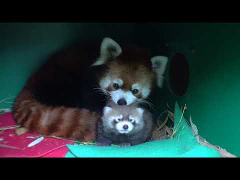 Fluffy Red Panda Cub Opens Eyes petworldglobal.com