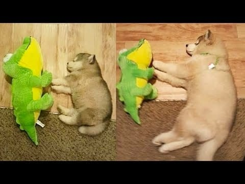 Funny and Cute Husky Puppies Compilation 2020 - Cutest Husky #03 petworldglobal.com