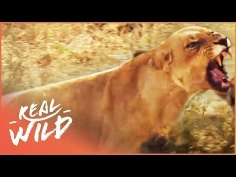 Lions Fight In The Wild (Wildlife Documentary) | A Year In The Wild S1 EP4 | Real Wild petworldglobal.com