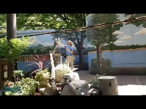 Live from Sac Zoo with Lando the grey fox petworldglobal.com