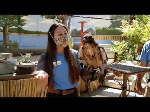 Live from Sac Zoo with Steve the red-tailed hawk and Saguaro the Harris's hawk petworldglobal.com