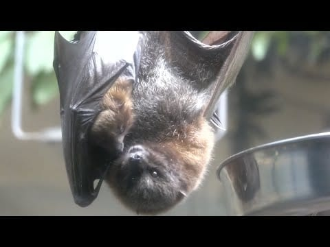 Meet The Rodrigues Flying Foxes petworldglobal.com
