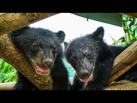 Orphan Moon Bears Stolen From Sanctuary | Bears About The House | BBC Earth petworldglobal.com