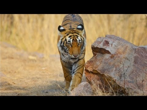 Wild Tigers of India petworldglobal.com