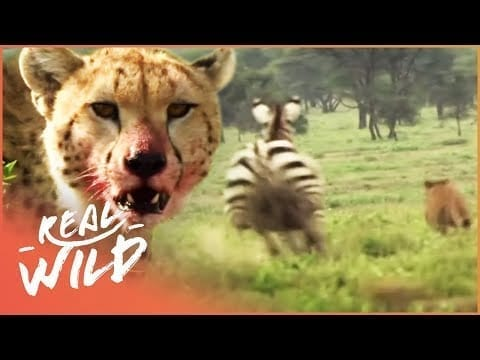 Zebra Hunts Leopard Leaving Young Cubs Alone | A Year In The Wild S1 EP1 | Real Wild petworldglobal.com