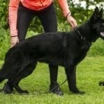 11 Month Black GSD Male in Czeck Republic petworldglobal.com