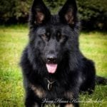 black german shepherd male for sale 2 year old GSD male for Sport or Family
