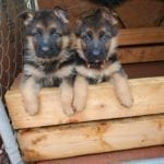 German Shepherd Male Puppies for Sale in US