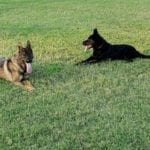 Working Line German Shepherd Puppies for Sale in Louisiana