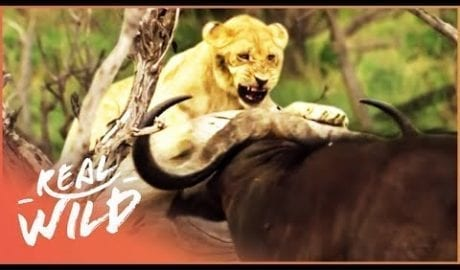 Buffalo Stampede Traps Young Lion Cub (Wildlife Documentary) | A Year In The Wild S1 EP5 | Real Wild petworldglobal.com