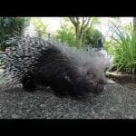 Crested Porcupine Sharpie Turns 14 petworldglobal.com