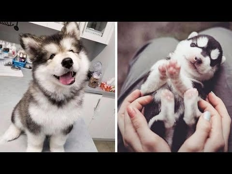 Funny and Cute Husky Puppies Compilation 2020 - Cutest Husky #02 petworldglobal.com