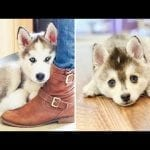 Funny and Cute Husky Puppies Compilation 2020 - Cutest Husky #04 petworldglobal.com