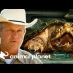 Game Warden Deals With An Alligator Snapping Turtle | Lone Star Law petworldglobal.com