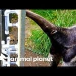 Giant Anteater Gets New Transparent Feeding Tubes To Showcase Her Tongue Skills | The Zoo petworldglobal.com
