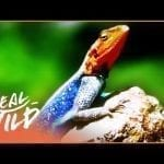 The Strange World Of Lizards (Wildlife Documentary) | Wild About S1 EP10 | Real Wild petworldglobal.com