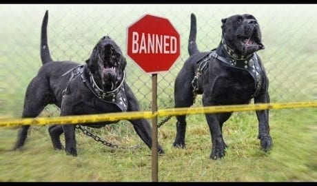 Top 10 Unfairly Banned Dog Breeds petworldglobal.com