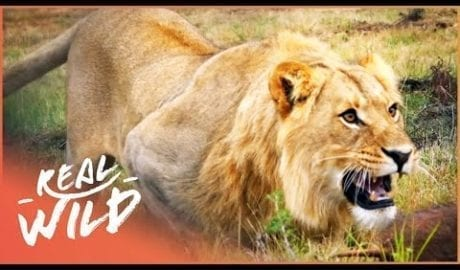 Tranquillising, Chipping And Releasing A Lion | Shamwari Untamed S1 EP8 | Real Wild petworldglobal.com