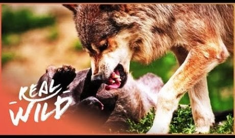Wolves: Hunting In Packs (Wildlife Documentary) | Wild About S1 EP9 | Real Wild petworldglobal.com